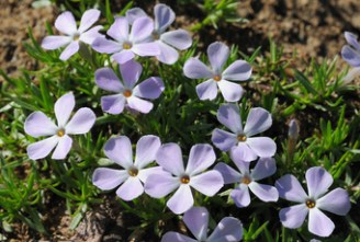 phlox, common wildflower rocky mountains