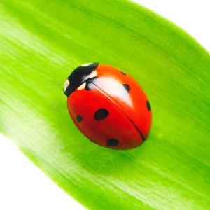 bug ladybug with spots