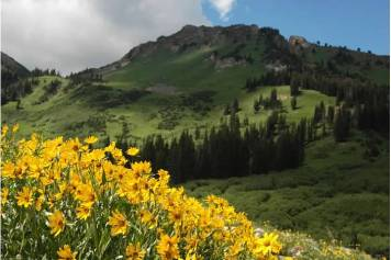 Beautiful wildflowers in Albion Basin