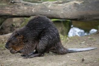 common mammals, beaver