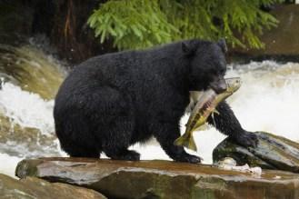 common mammals, black bear eat fish