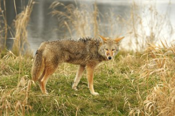 mammals coyote