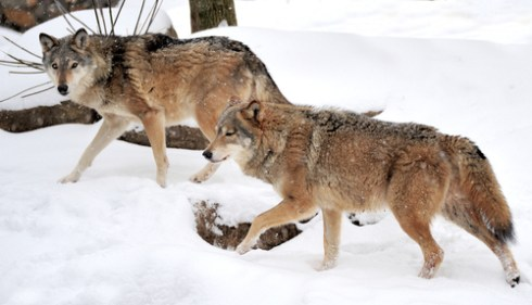 winter facts, wolf