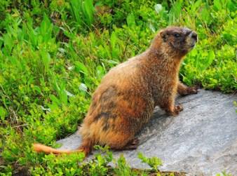 mammals marmot