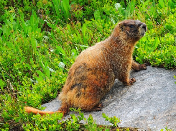 brumation, hibernation, marmot
