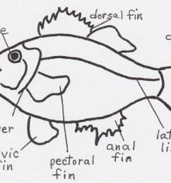 puffer fish diagram puffer fish diagram [ 1563 x 1092 Pixel ]