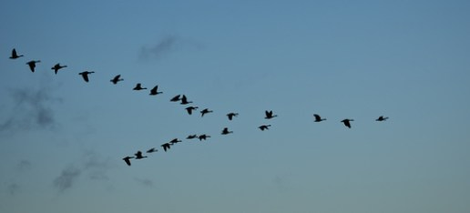 bird-migrating-canada-geese adapt animals blog hibernation jakes fun facts about nature migration Nature survive winter