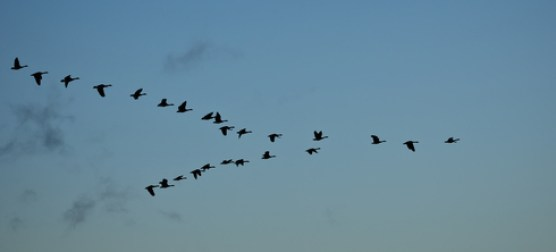 bird migration, migrating