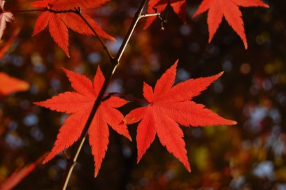 Red Maple Leaves, fall colors