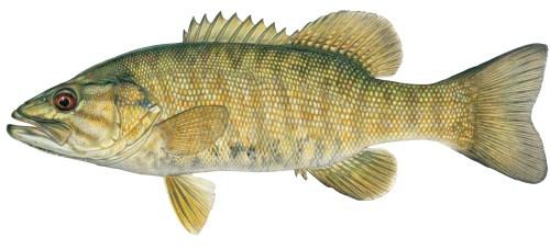 smallmouth bass j. tomelleri