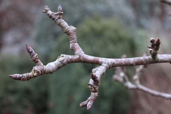 tree bud winter