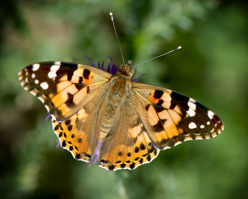 bugs, insects, painted lady butterfly