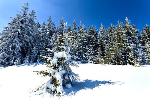 conifer trees winter