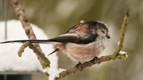 seasons birds fluffing winter