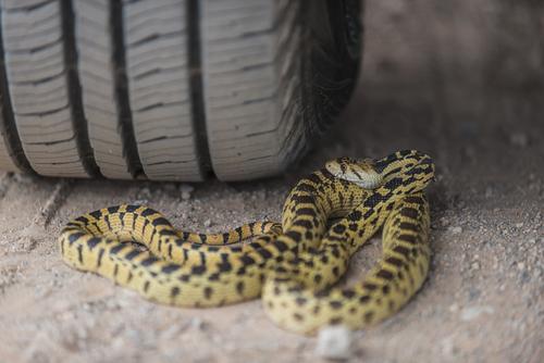 amphibians gopher snake 2.jpg