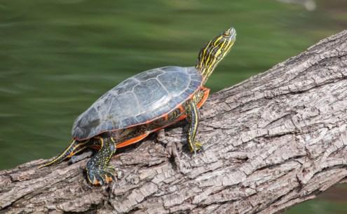 groups of animals, amphibian, turtle
