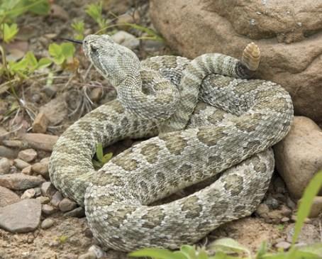 amphibians western rattlesnake 2