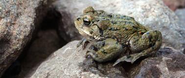 western toad.jpg
