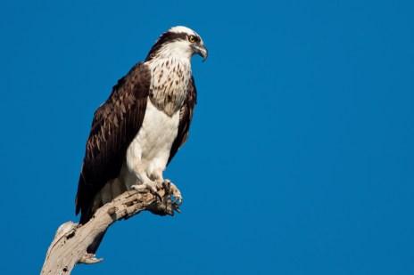 precocial birds