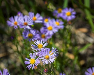 aster, common wildflower rocky mountains