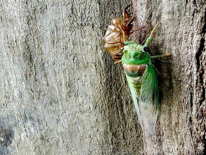 molting, cicada, exoskeleton