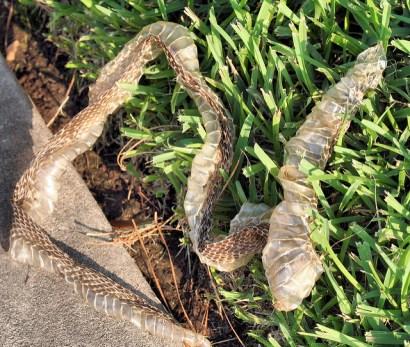 molting, molt, snake, snake skin,