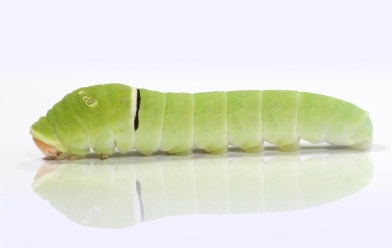 butterfly lifecycle, caterpillar