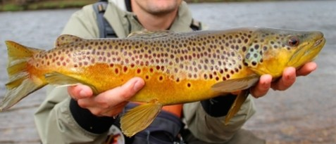 brown trout spawn, fish