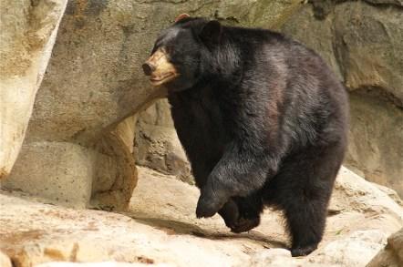 bear, fast, running