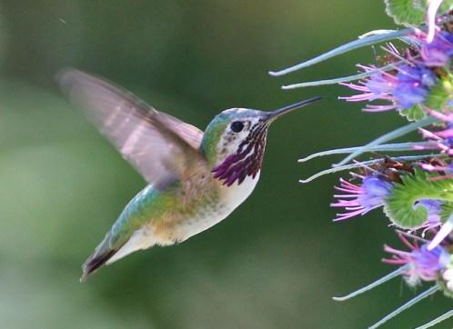 common hummingbird