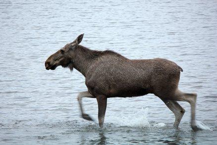 moose, fast, running