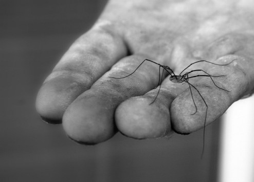 daddy longlegs, bug, spider