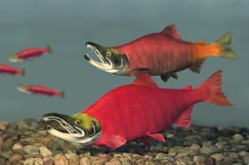 salmon, spawning, fish