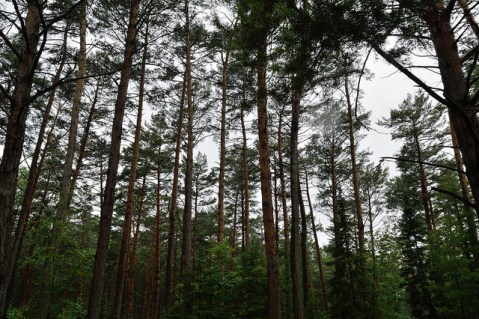 kinds of trees, scotch pine