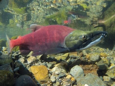 migration, salmon