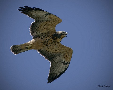 migration, swainsons hawk