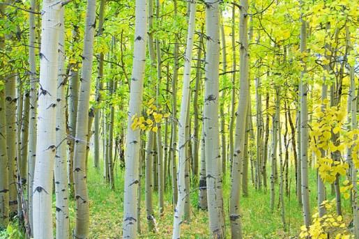 birch tree, aspen tree