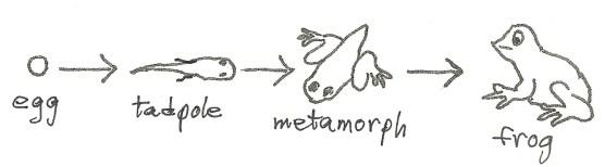 amphibians metamorphosis