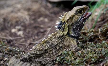 reptile, tuatara