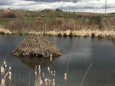 beaver lodge 1