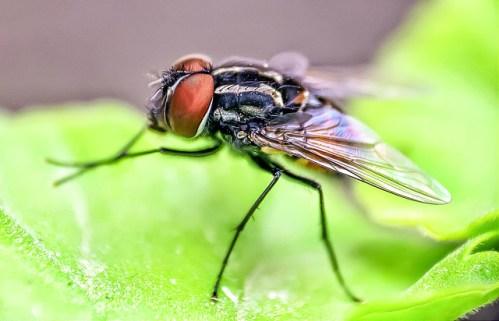 flies rub legs, house fly
