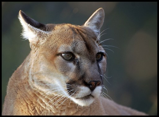 mountain lion facts