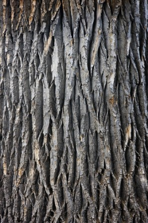Cottonwood Trees Facts About These Cool Trees Jake S
