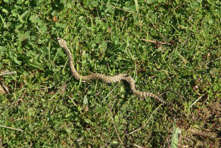baby rattlesnakes