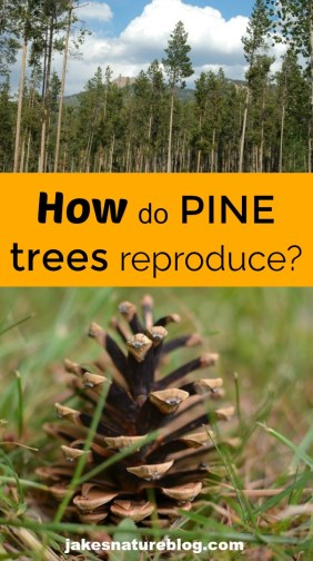 pine trees reproduce