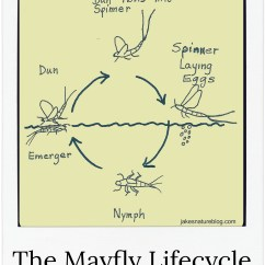 Cricket Life Cycle Diagram Electric House Wiring Mayfly Lifecycle Explained For You With A Nice Jake S