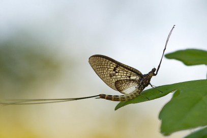 mayfly lifecycle