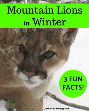 mountain lions in winter
