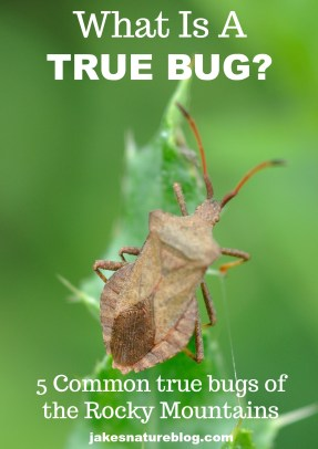 true-bug-pin blog bugs insects Nature nature fact true bug