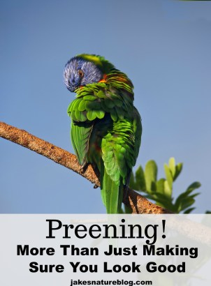 preening-pin bird behavior birds blog Nature